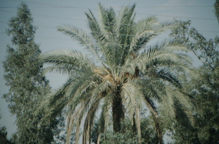 Iraq, Aqar Quf, palm tree