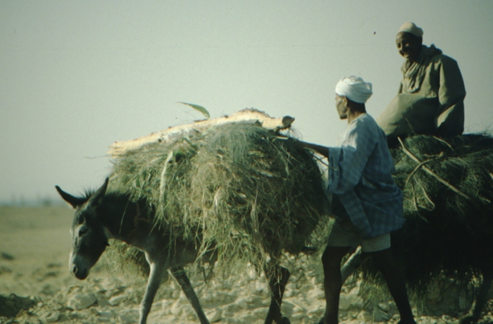 el Faiyum, pack donkey