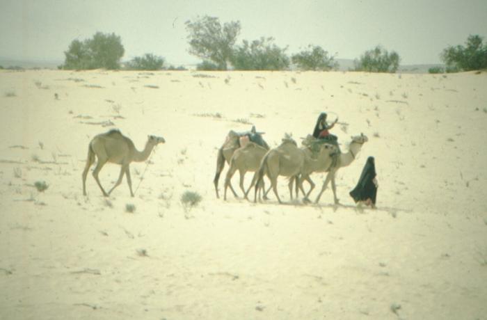 Sinai, Bedouin, riding camels