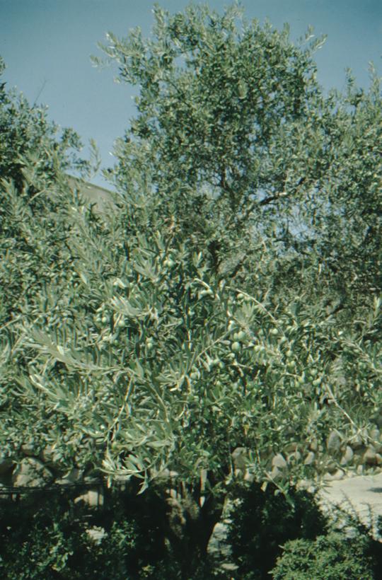 Yad Vashem, olive tree