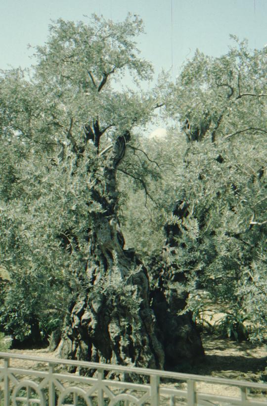 Jerusalem, Mount of Olives, ancient olive tree