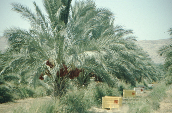 Galilee, date palm
