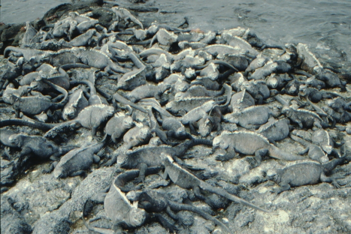 Sea Lizards, Fernandina, Galapagos August 1989