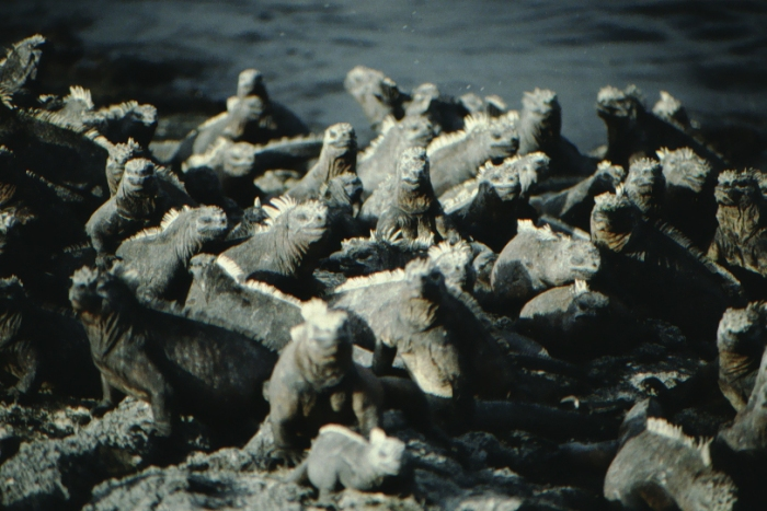 Sea Lizards, Fernandina, Galapagos August 1989