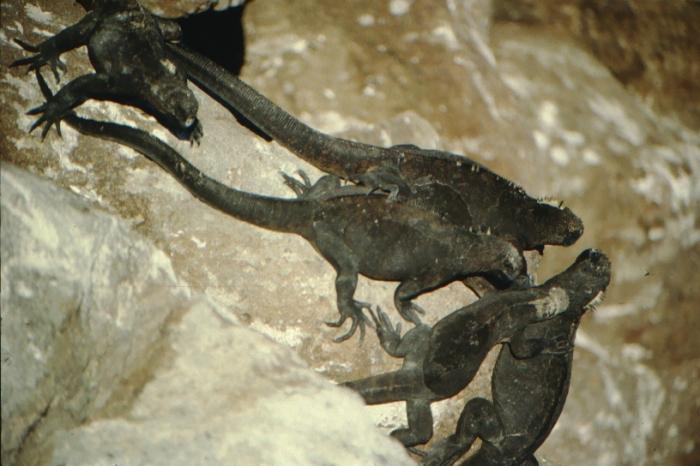 Land iguanas, North Seymor, Galapagos August 1989