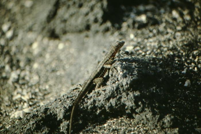 Lava Lizard, Fernandina, Galapagos August 1989