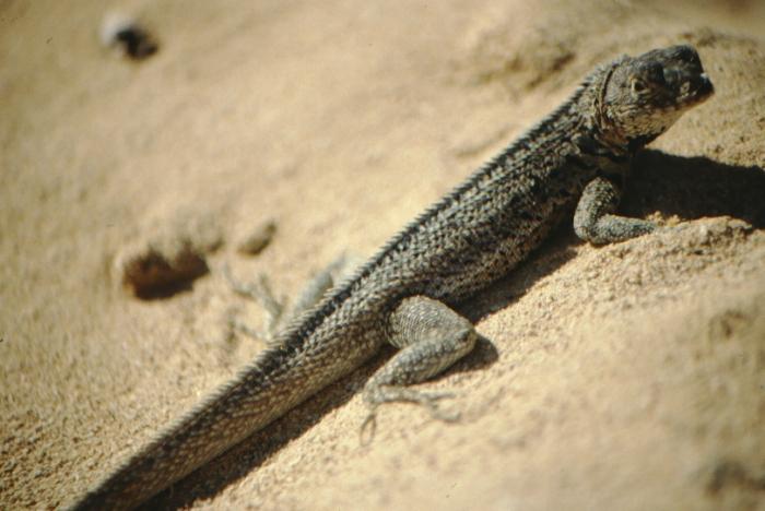 Lava Lizard, Bartolomé, Galapagos August 1989