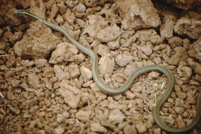 Snake (non-toxic), Rápida, Galapagos August 1989