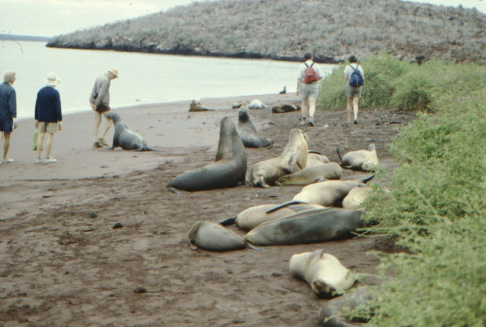 Sea lions, Rápida, Galapagos August 1989