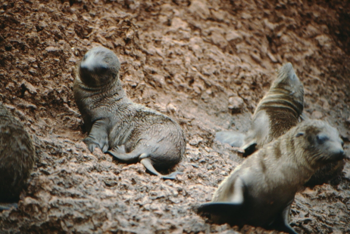 Sea lion babies, Rápida, Galapagos August 1989
