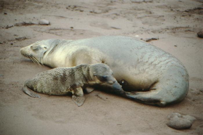 Sea Lioness, Baby, Rápida, Galapagos August 1989