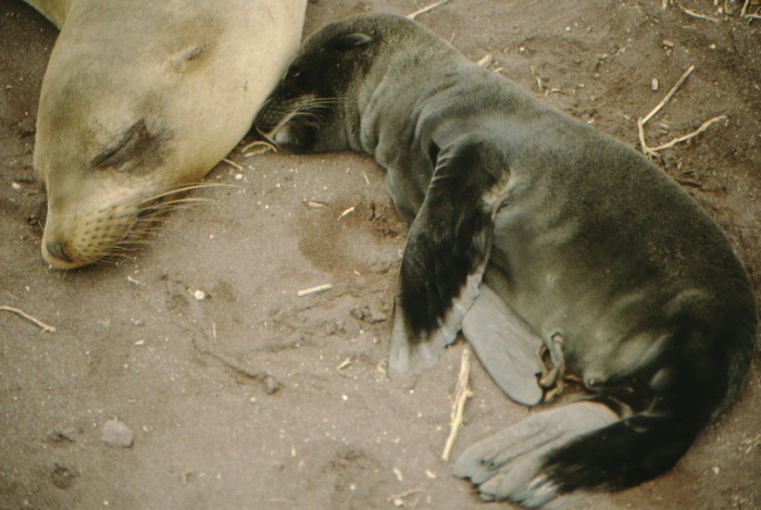 Sea lion baby, younger than a week, Rápida, Galapagos August 1989