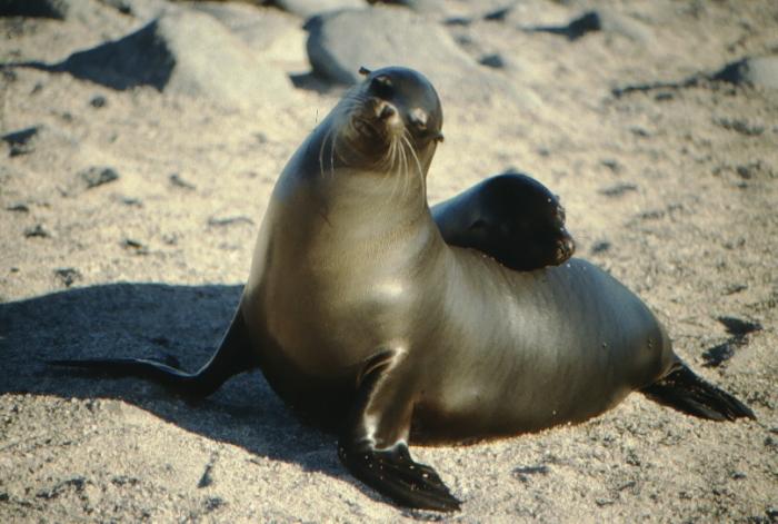 Sea lions, North Seymor Galapagos August 1989
