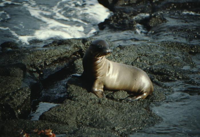 Sea lion cub, Rápida, Galapagos August 1989