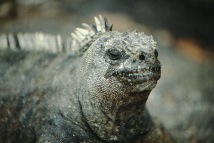 Sea Lizard, Fernandina, Galapagos August 1989
