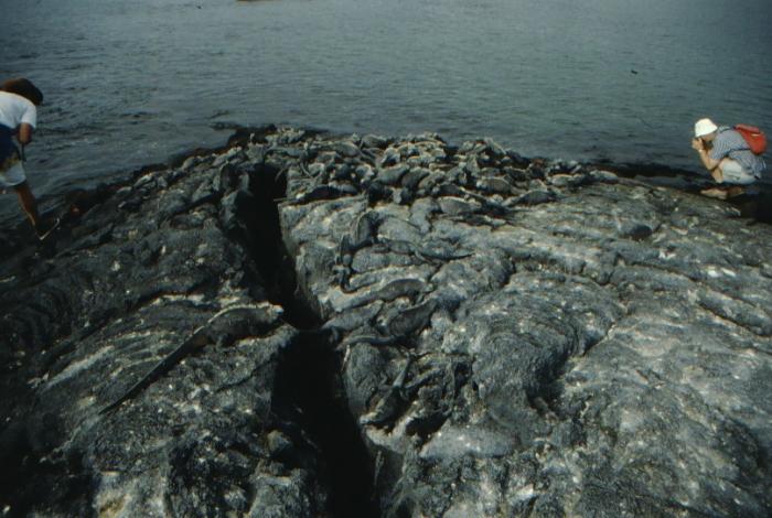Sea Lizards Fernandina, Galapagos August 1989