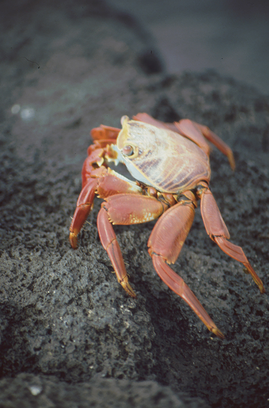 Red rock crab, Fernandina, Galapagos