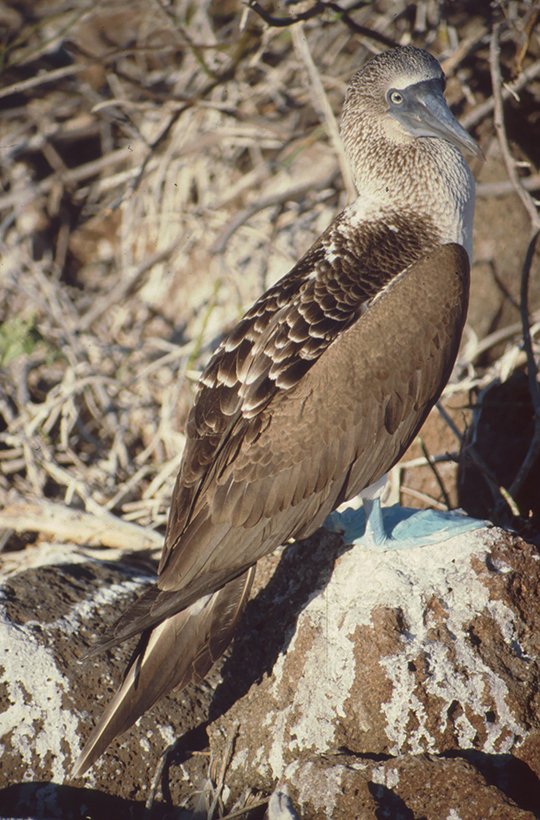 Blue-footed Booby, North Seymor, Galapagos