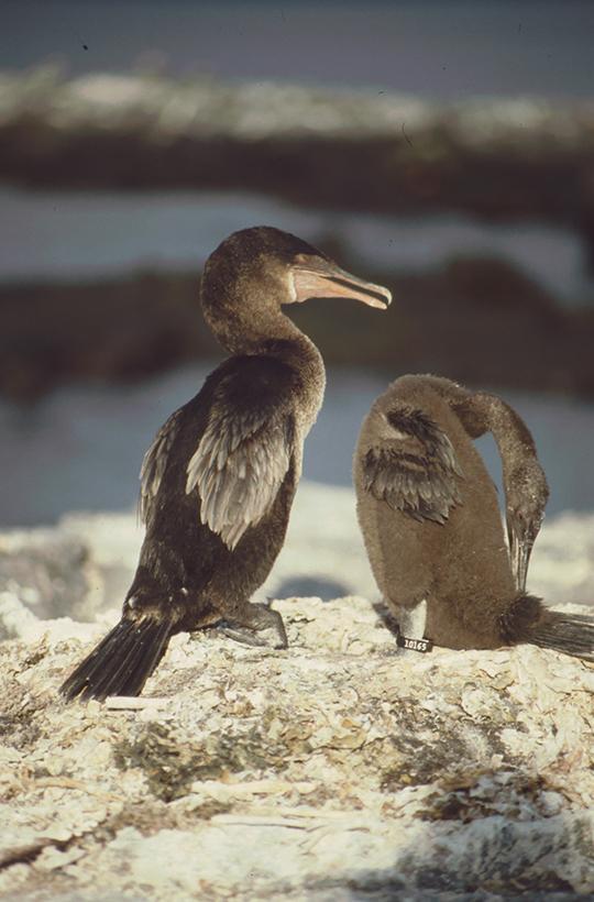 Cormorant, Fernandina, Galapagos