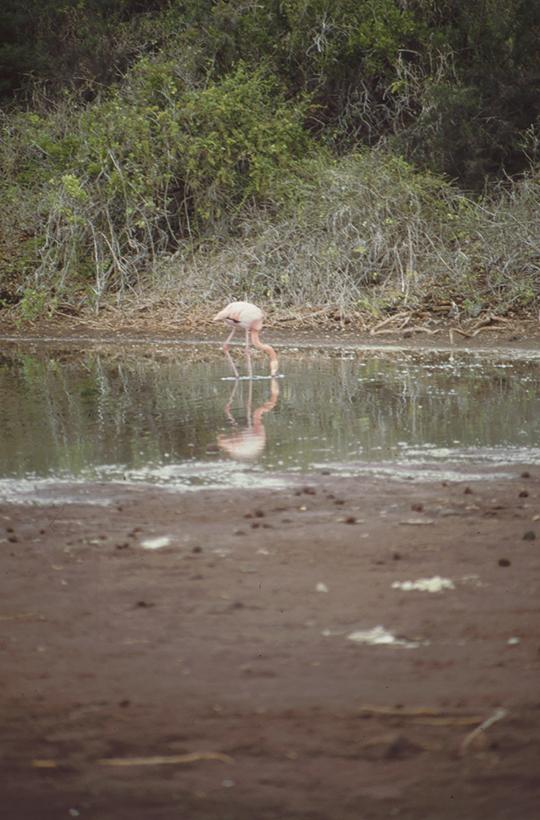Flamingo, Rapida, Galapagos