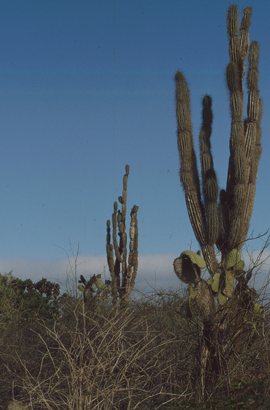 Kandelaberkaktus, Santa Cruz, Galapagos